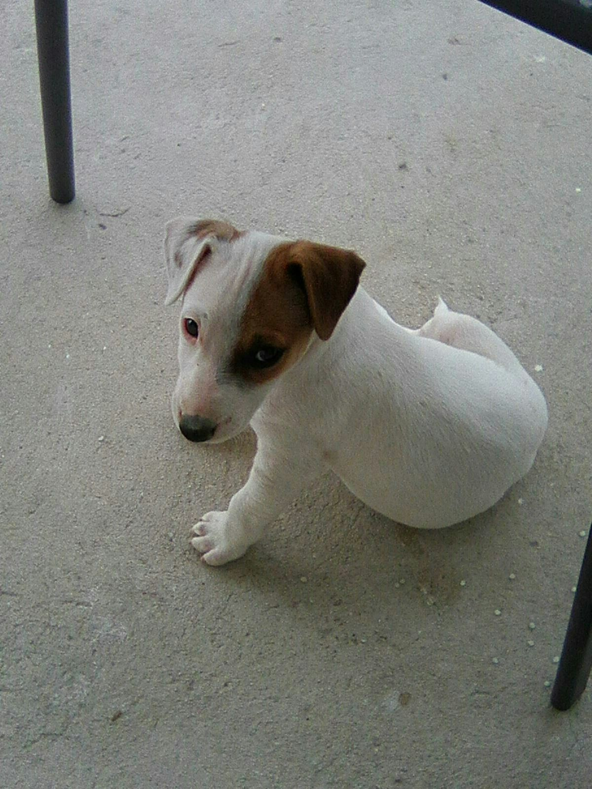 Nuss Von Blitz With Images Cutest Puppy Ever Jack Russell