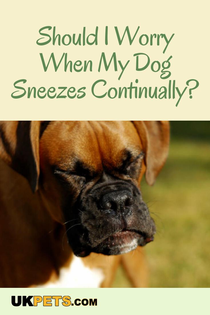My Dog Keeps Sneezing Should I Worry Dog Sneezing Dogs Health Remedies Dog Health Tips