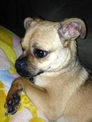 Ginger Is An Adoptable Pug Dog In Minneapolis Mn You Can Fill