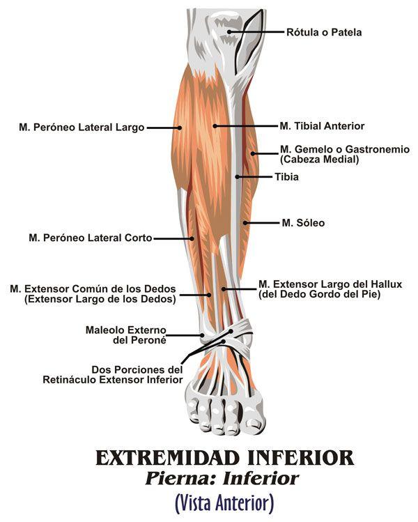 Músculos pierna abajo delante | Anatomía Piernas | Pinterest ...