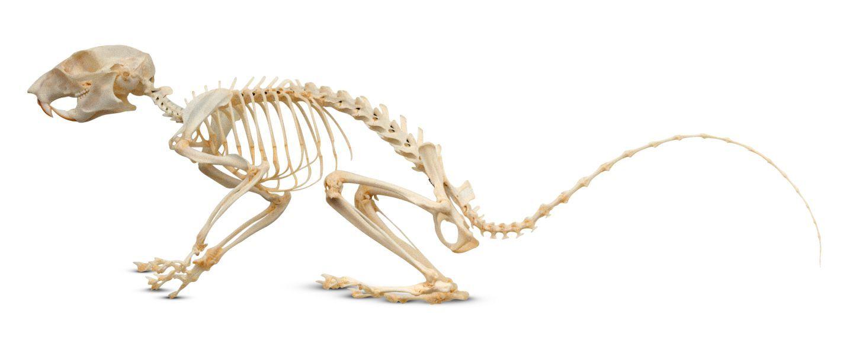 Скелет крысы картинки