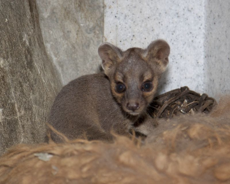Baby_fossa_01 Denver zoo, Baby animals pictures, Cute