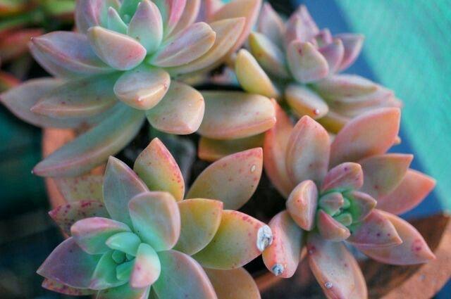 Rainbow Succluent Plant - tumblr