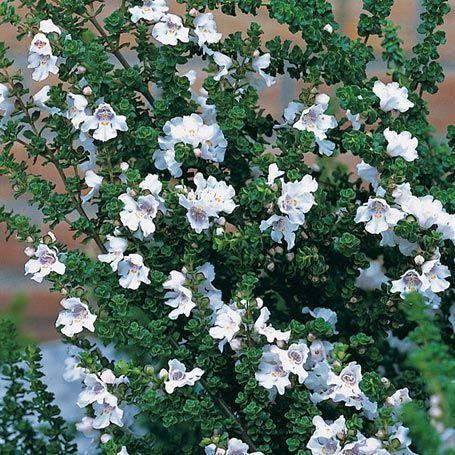 Kletterpflanze Halbschattig australische minze ziergehölze wird 50 cm hoch kübel sonnig bis