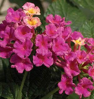 Bandana Rose Shrub Verbena Lantana Plant Flowers And Stuff