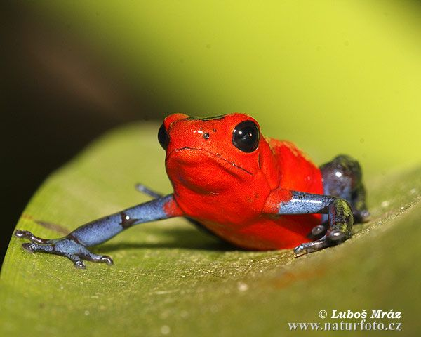 Strawberry Poison Arrow Frog