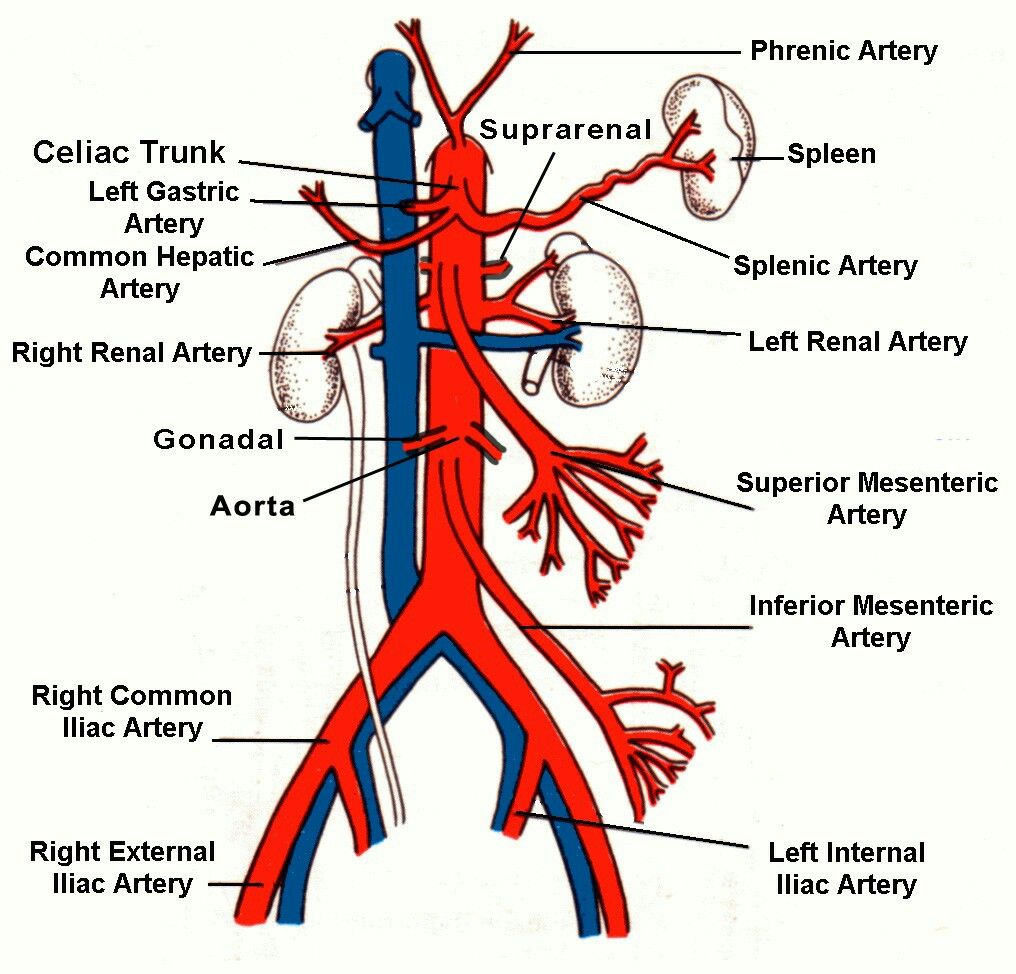 Abdominal Aorta02 Note Inferior Phrenic Artery From Abdominal