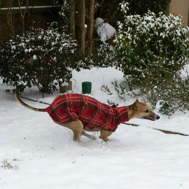 Skywalker loves the snow! #galtx #greyhounds