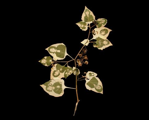 photos developed onto leaves by Binh Danh