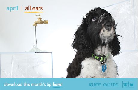 April Pet Health Tip Sounding Off About Ear Infections Pet