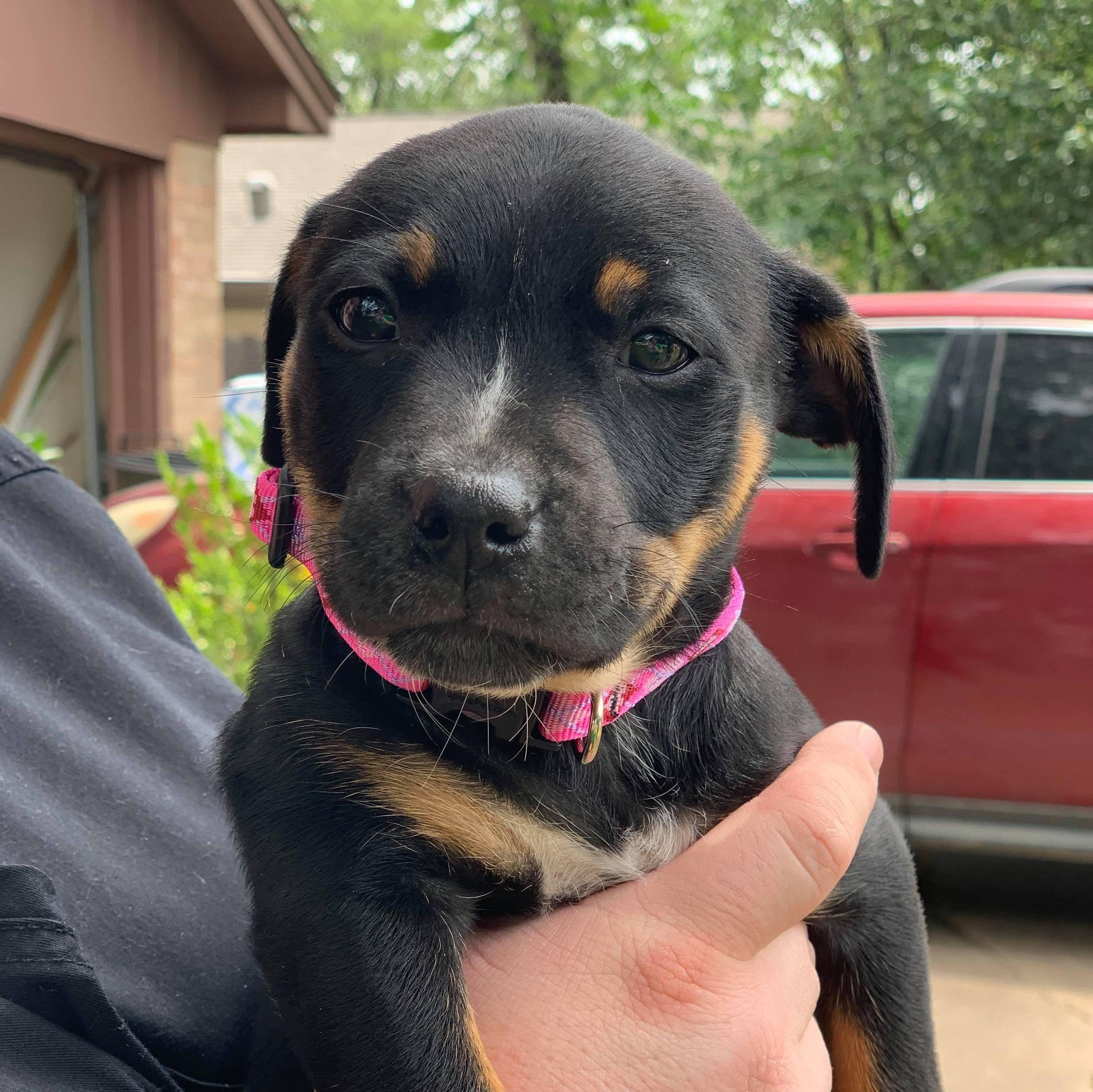 Pin on Adoptable puppies near Houston, Tx.