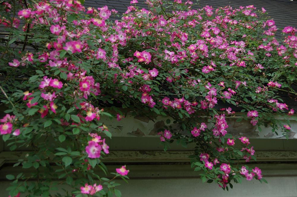 """Fairmount American Pillar""   John Starnes, Heritage Rose Foundation: Cemetery roses"
