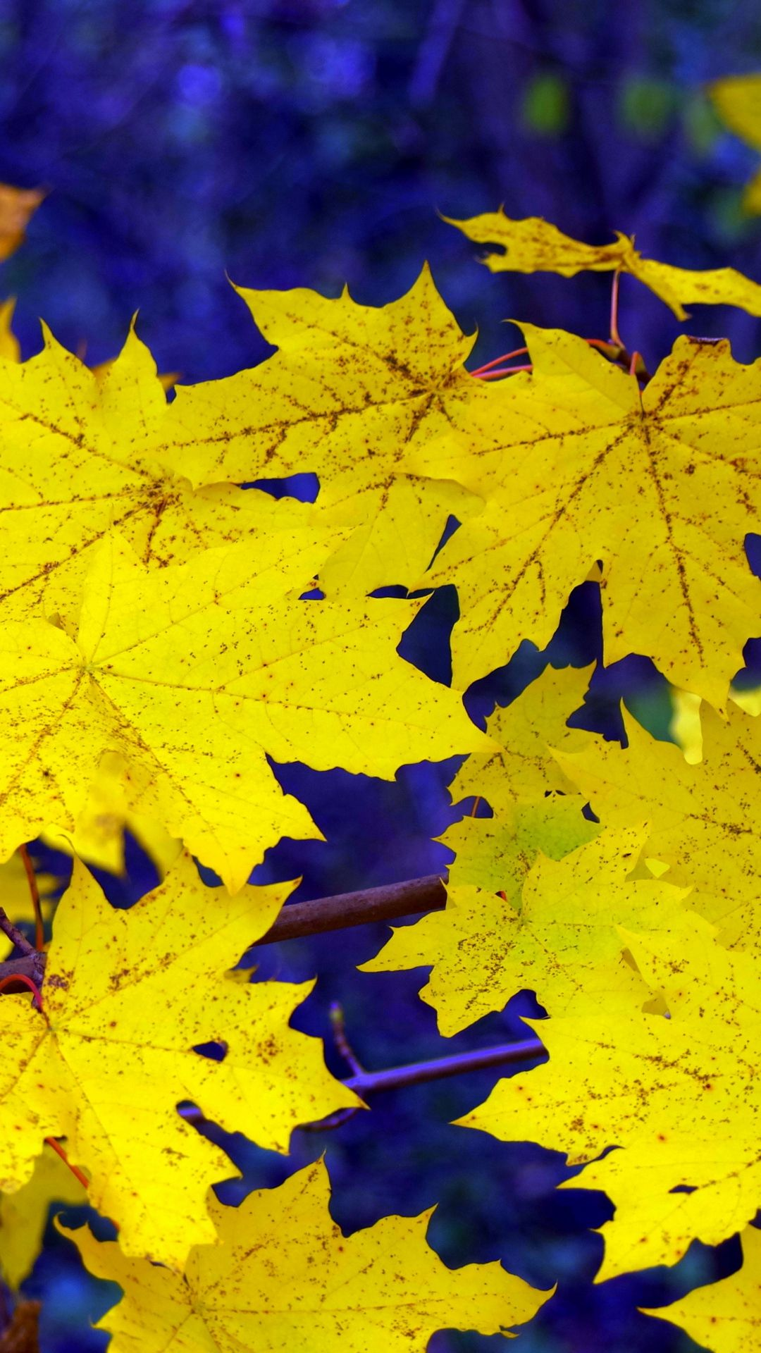 Maple Leaves Fall Fallen Yellow iPhone 6 plus