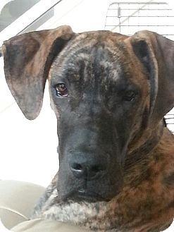 Austin Tx Great Dane Meet Achilles A Dog For Adoption Great