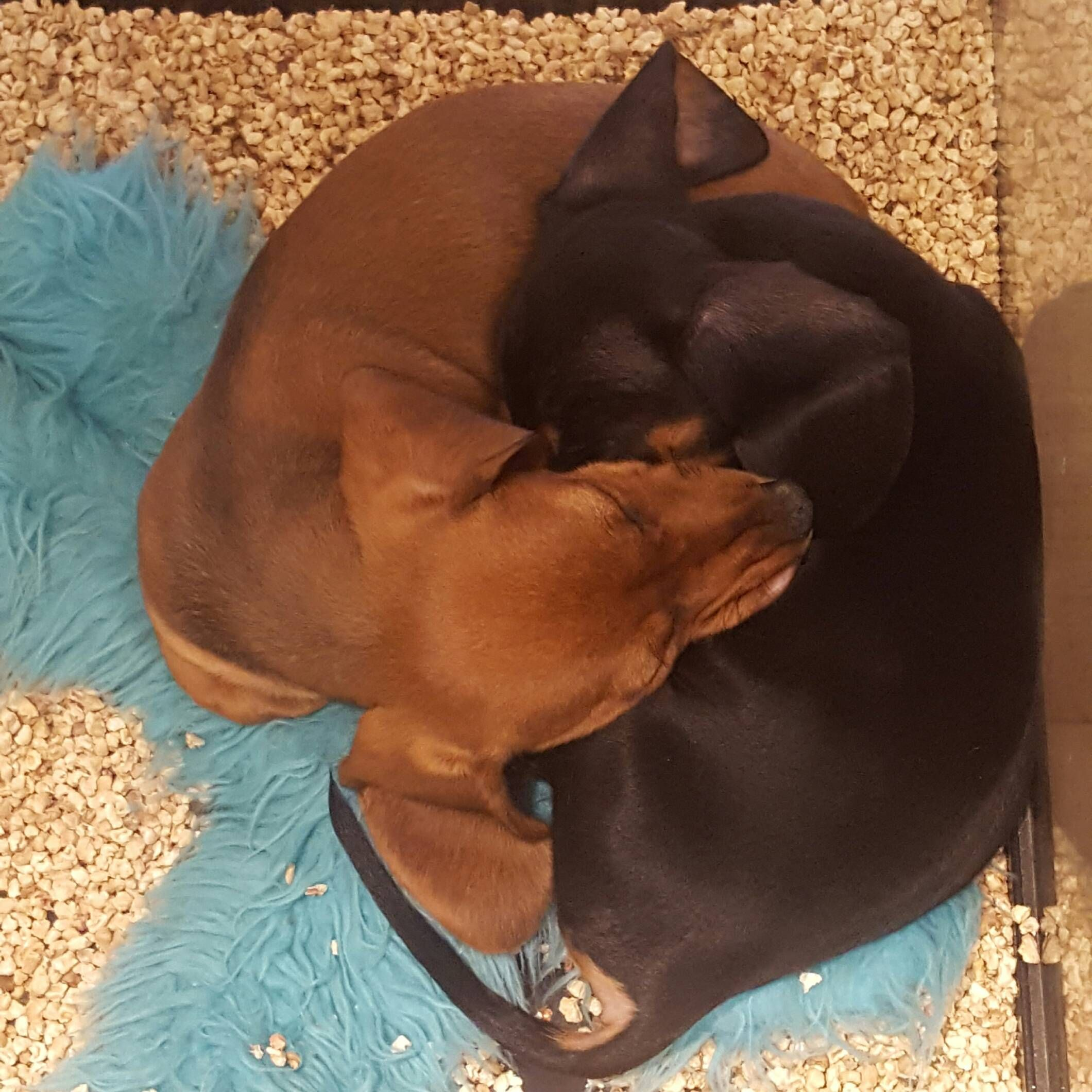Yin and yang cuddle pups at a pet store http://ift.tt/2i4CbG8