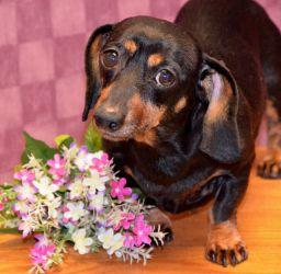 Adopt Allie Dachshund Dog Beaver Dam Wi Dogs Doxie