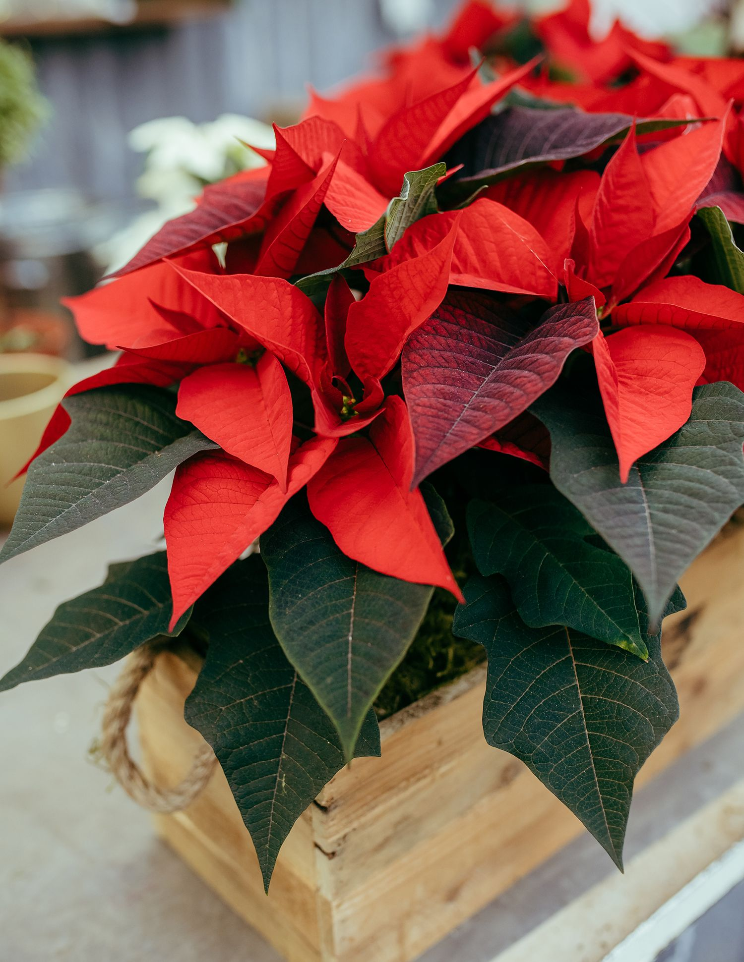 How To Care For Poinsettia Plants Gardening Channel Poinsettia Plant Plants Organic Gardening Tips