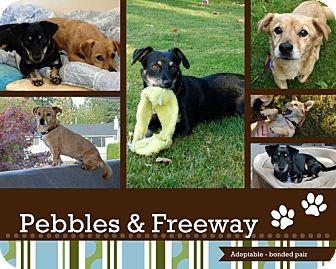 Vancouver Wa Dachshund Chihuahua Mix Meet Pepples And Freeway A Dog For Adoption Meet Pebbles And Freeway They Kitten Adoption Dog Adoption Dachshund Mix