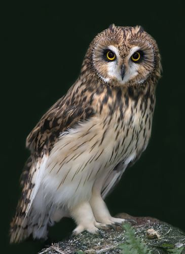 Short Eared Owl Owl Photography Short Eared Owl Owl Images