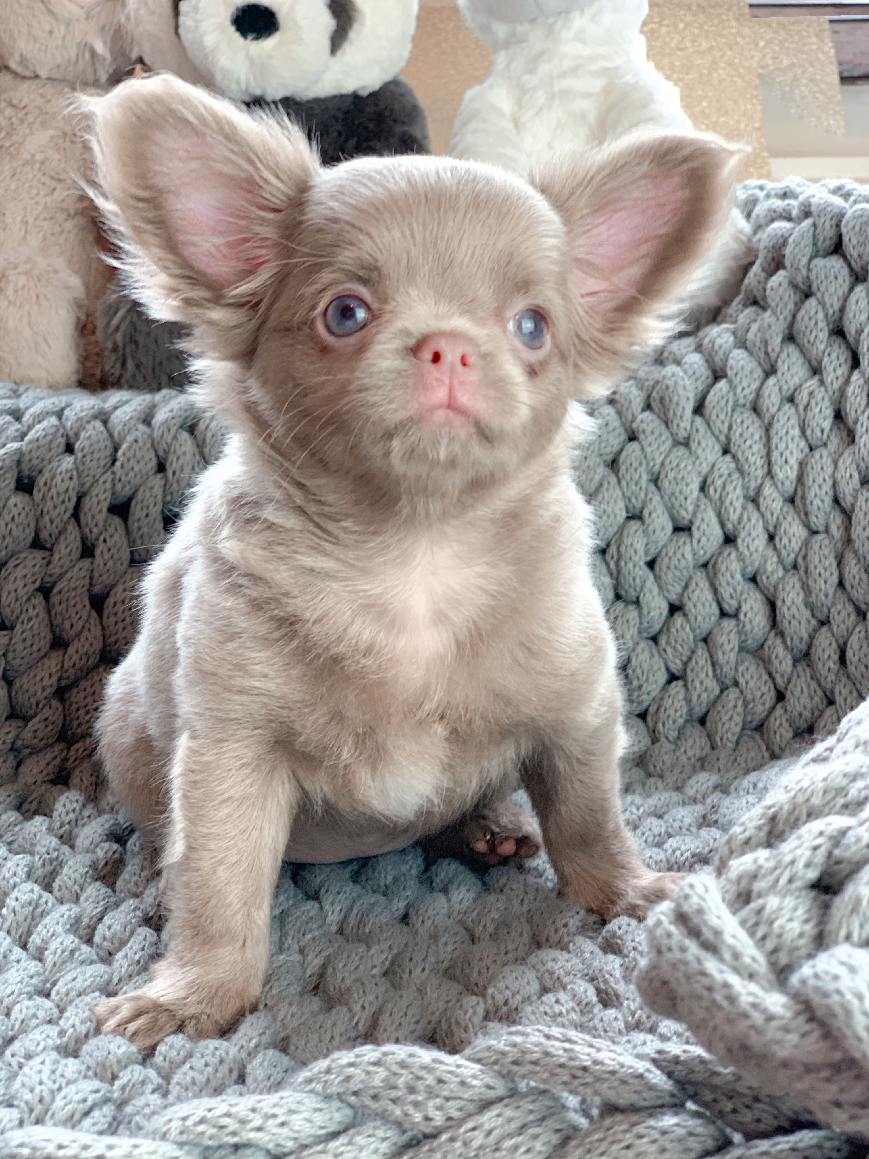 Beautiful Baby Girl Pinky Was Bred By Tiffany Chihuahuas Uk
