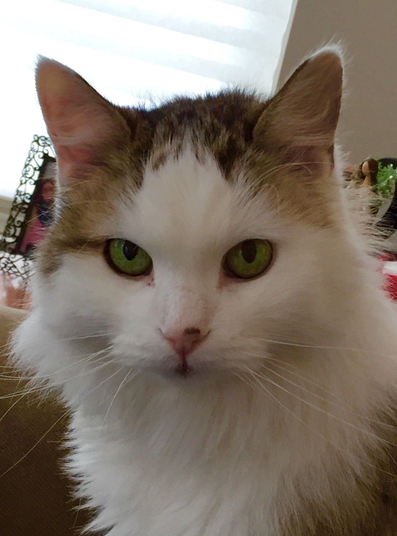 NHV Helped My Cat Jax With His Hyperthyroidism and Liver