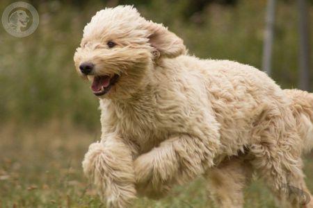 Unsere Philosophie Goldendoodle Dogs Of Golden Kennel Andreas Werner Goldendoodle Welpen Labradoodle Welpen