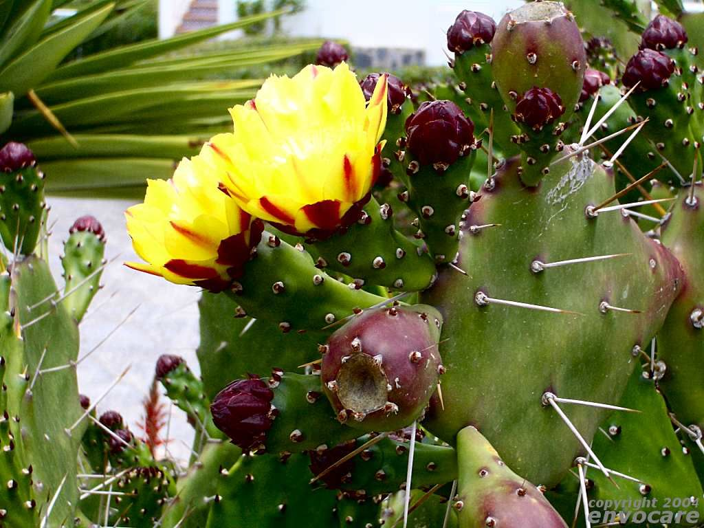 prickly pear hd wallpapers are very beautiful and attractive.now you