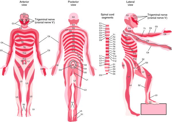 Dermatome Definition Of Dermatome By Medical Dictionary Anatomy