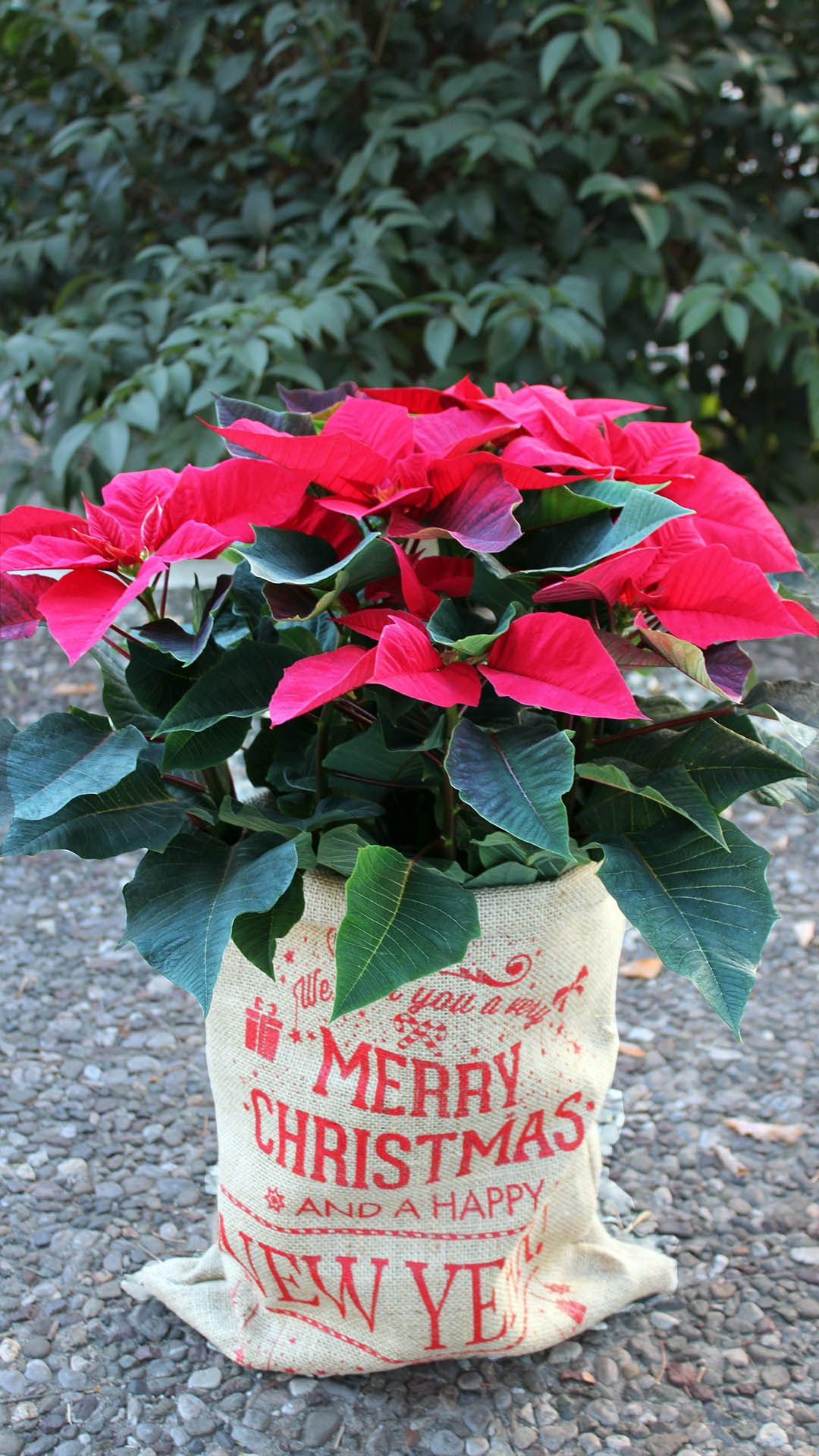 Our favorite plant, poinsettia, which has been named also