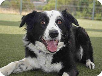 Martinez Ca Border Collie Mix Meet Cisco A Dog For Adoption