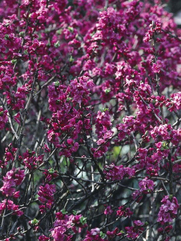Daphne pink the daphne is a deciduous shrub that produces purple daphne pink the daphne is a deciduous shrub that produces purple pink flowers in garden shrubsflowering shrubsearly springspring mightylinksfo