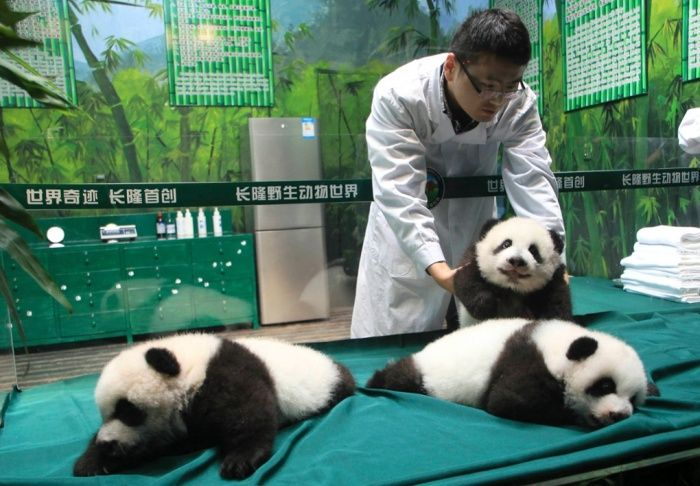 Guangzhou, China Three panda cubs, the world's only surviving triplets, make a public appearnce as they reach 100 days in age