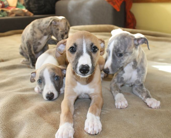 Whippets Make The Best Pets Ever They Are So Cuddly And Will Go Anywhere With You Whippet Puppies Greyhound Puppy Whippet Dog
