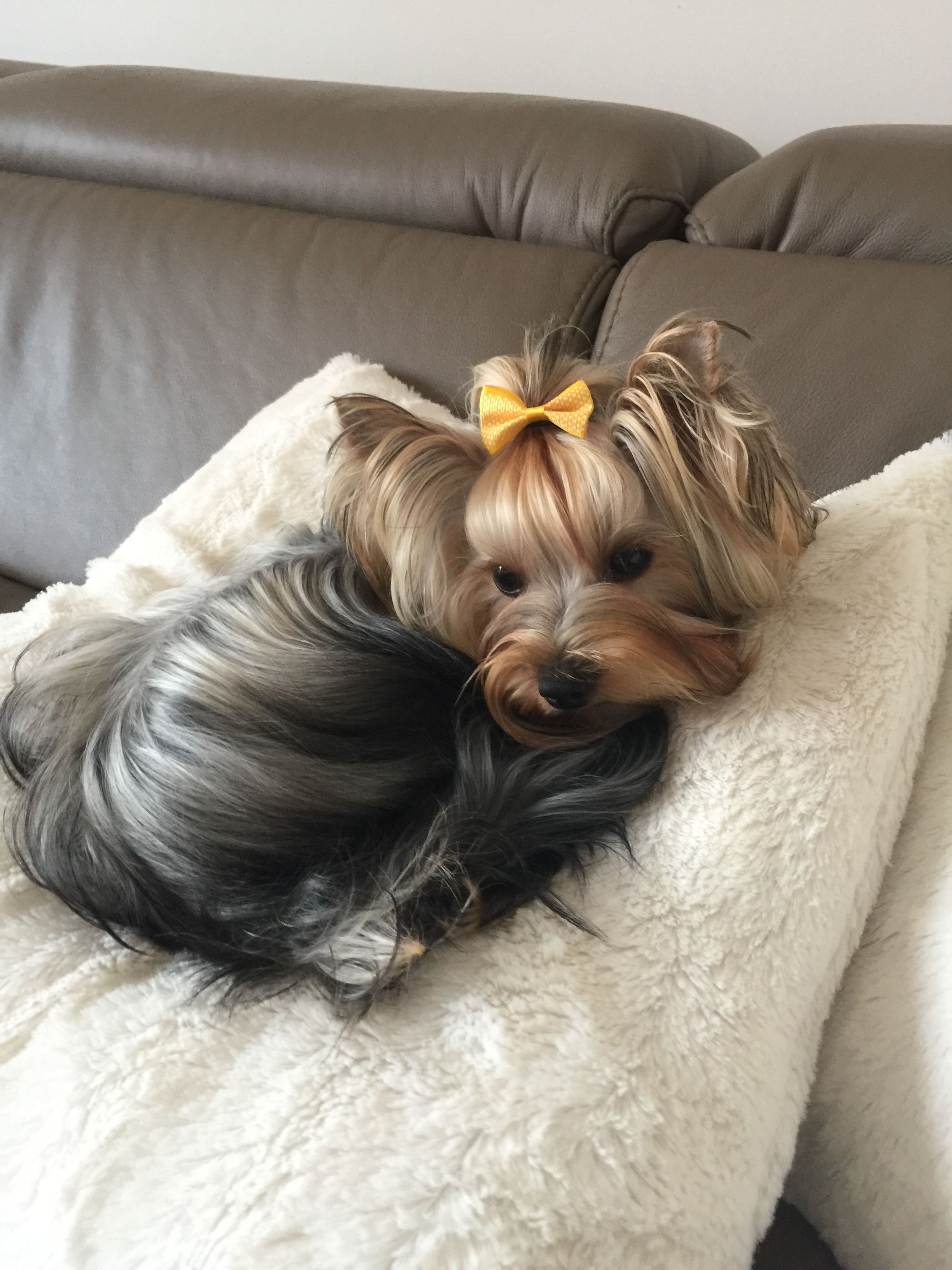 Yorkie Baby Yorkshire Terrier Puppies Yorkshire Terrier Terrier