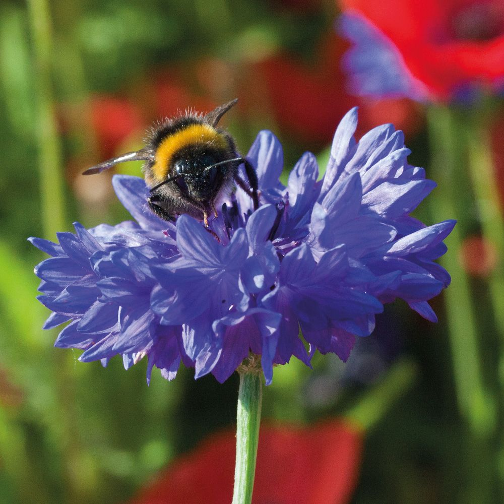 Cornflower 'Blue Diadem' Hardy Annual Seeds Thompson
