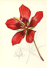 American Scarlet Rose-Mallow from Flowers of the USA by Thomas Meehan.