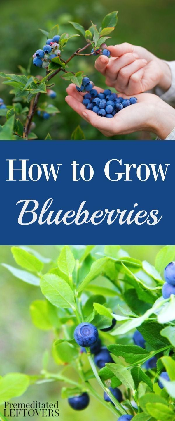 Use these tips for Growing Blueberries in your garden. Gardening tips including how to plant blueberries, how to grow blueberries in containers, & when to harvest blueberries. DIY garden idea for beginning gardener.