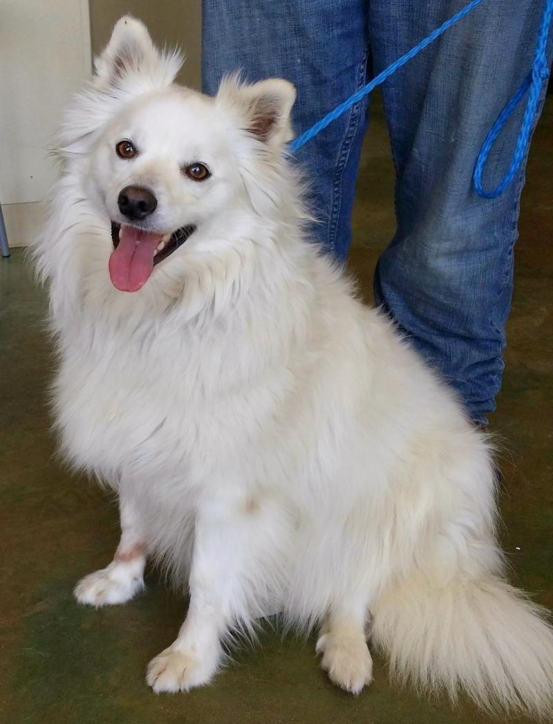 Adopt Ivan the Wonderful on American eskimo dog, Crate