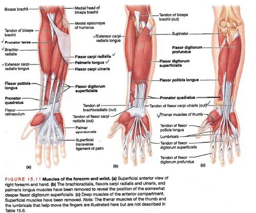 Forearm Muscles Physical Therapy Pinterest Forearm Muscles