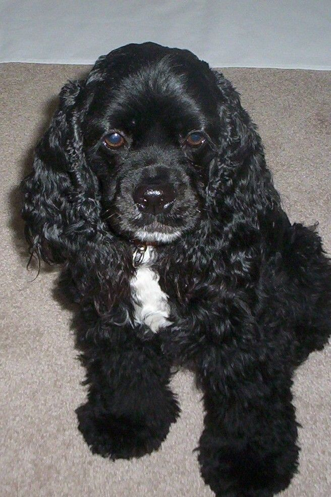 Looks Like Sammy I Want A Puppy With Images Spaniel Puppies American Cocker Spaniel Black Cocker Spaniel