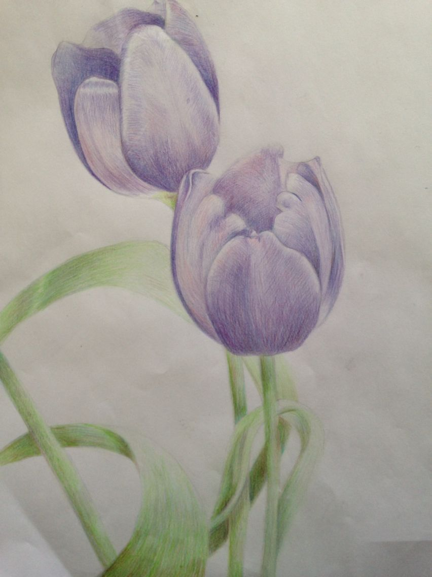 Colored pencil tulip drawing drawings colored pencil techniques