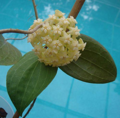 Hoya marginata $$$ IML 1727 Hoya marginata - $16.00 : Hoya Plants and Cuttings