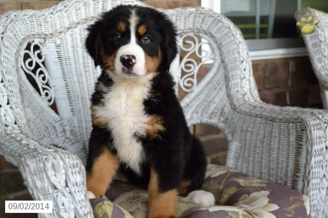 Bernese Mountain Dog Puppy For Sale In Ohio Bernese