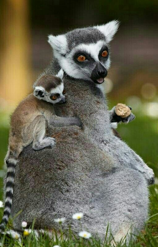 d0eaba7785 Baby Backpack ~ Female Ring-Tailed Lemur with baby.