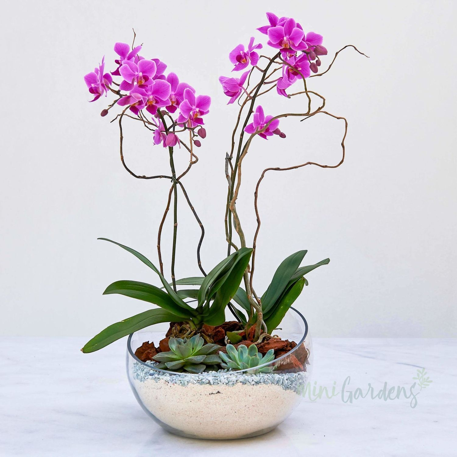 Zeina Orchids Mini Orchids Glass Bowl Medium Orchid Homedecor Succulents Plants Buy Orchids Orchids Plant Gifts