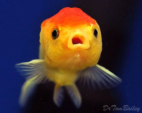 Lionhead Rc 110120b1 W0480 Jpg 480 384 Fancy Goldfish For Sale Goldfish For Sale Goldfish
