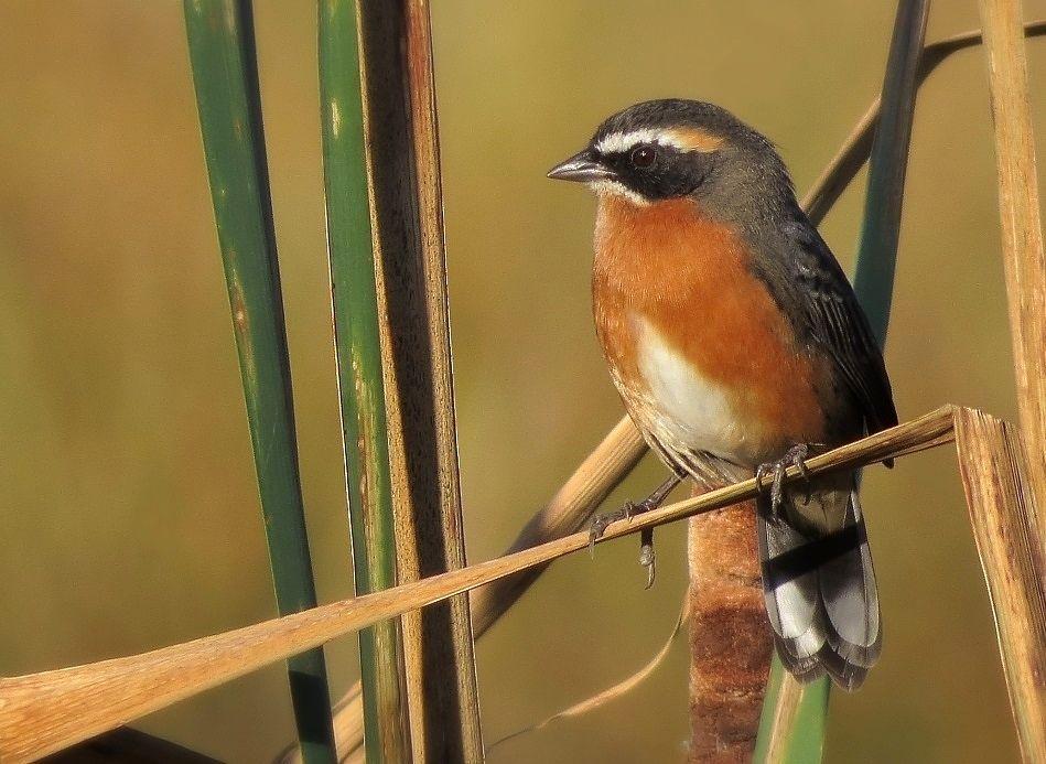 Black-and-rufous Warbling-Finch (Poospiza nigrorufa)