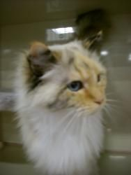 Adopt Princess On Ragdoll Cat Feline Leukemia Pet Finder