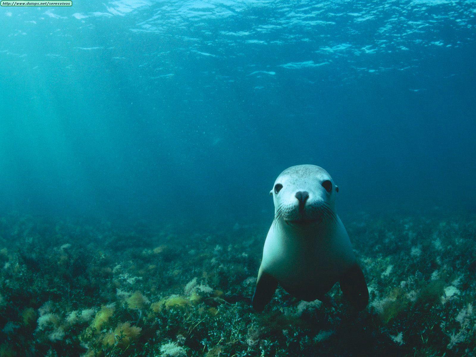 sea lion under water free desktop background free wallpaper image