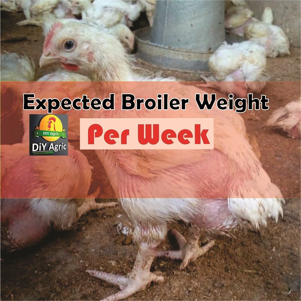 Looking for how to make broiler chicken grow faster you